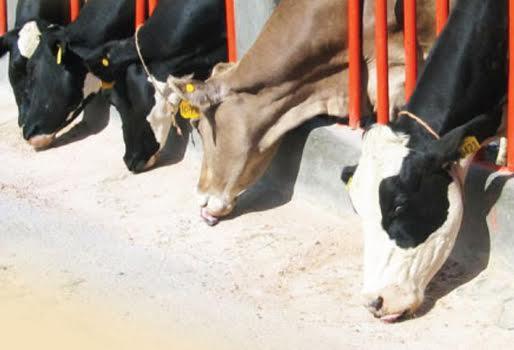 beber mucha agua adelgazar o engorda de toros