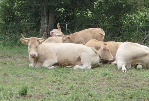Permitir El Sueño En Las Vacas Favorece Producción De Leche
