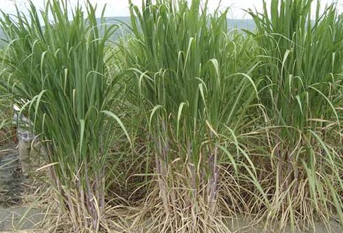 Conozca Las Ventajas De La Caña De Azúcar En Los Sistemas Silvopastoriles Contexto Ganadero Noticias Principales Sobre Ganadería Y Agricultura En Colombia