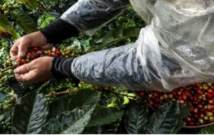 Colombia café, Colombia cosecha caferera 2017, café los recolectores, cafe de colombia, Federación Nacional de Cafeteros, cafe de colombia los secretos de los cafeteros, CONtexto ganadero, ganadería Colombia, Noticias ganaderas Colombia