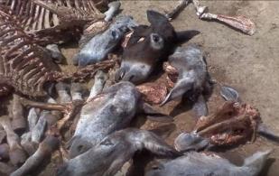Colombia, Argentina, carne de caballo, carne de bovino, mataderos clandestinos, venta de carne de caballo, sacrificio clandestino de burros, riesgo sanitario de carnes sacrificadas en mataderos clandestino. compre en sitios reconocidos su carne, ¿Carne de vaca, de caballo, o de burro?, CONtexto ganadero, noticias ganaderas, vacas