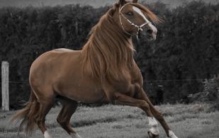 equitacion, equinos, caballo, competenencias equinas, ganadería colombia, Ganadería, CONtexto ganadero, exposiciones equinas, concursos equinos, prodigioso, caballo campeon, saltos