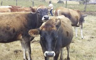 Zipalac Proyecto Jersey, proyecto ganaderos Zipaquirá 2020, ganado jersey, Venta de ganado, Genética, genética jersey, producción de leche Sabana de Bogotá, producción leche, ganado Jersey en clima frío, comprar ganado Jersey, venta de bovinos, Gobernación Cundinamarca, ganaderos Zipalac, productores Zipaquirá centro de acopio, productores Zipaquirá, Cooperativa Multiactiva de Productores de Leche de Zipaquirá, Zipalac, CONtexto ganadero, ganaderos colombia, noticias ganaderas colombia