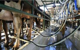 ganadería, ganadería colombia, noticias ganaderas, noticias ganaderas colombia, contexto ganadero, israel, leche, leche israel, producción de leche en israel, vacas lecheras isarel, lechería israel, producción lechera israel, historia lechería, historia leche israel,