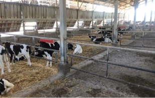 Ganadería, ganadería colombia, noticias ganaderas, noticias ganaderas colombia, CONtexto ganadero, Israel, leche, leche israel, producción de leche en israel, vacas lecheras isarel, lechería israel, producción lechera israel, historia lechería, historia leche israel, aurora, aurora israel,