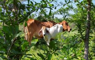 ganadería, ganadería colombia, noticias ganaderas, noticias ganaderas colombia, contexto ganadero, ganadería sostenible, banco mundial, proyecto ganadería colombiana sostenible, fedegán, cipav,