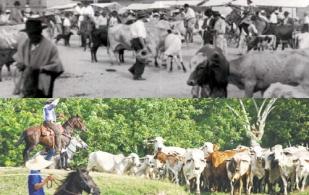 Ciclo ganadero Colombia 1950-2000, ciclo ganadero Colombia 1960-2015, ciclo ganadero Colombia, ciclo ganadero Colombia segunda mitad siglo XX, ciclos ganadería, historia de la ganadería en Colombia, ganadería en Colombia siglo XX, Ciclo productivo de ganadería, ciclo productivo en ganaderías de carne, ciclo productivo en ganaderías de leche, ganaderos, ganaderos colombia, ganado, vacas, vacas Colombia, bovinos, Ganadería, ganadería colombia, noticias ganaderas, noticias ganaderas colombia, CONtexto ganadero