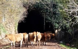 Conductores en la vía Girardot-Ibagué, usan un túnel ganadero para realizar retorno vial.