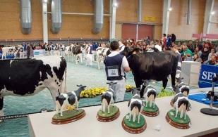 concurso de belleza de vacas
