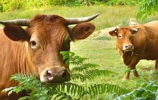 La raza Limousin en Colombia