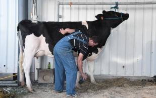 la belleza de las vacas