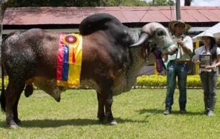 aplomos de los bovinos, aplomos de las vacas, patas de las vacas, patas traseras de las vacas, patas delanteras de las vacas, locomoción de las vacas