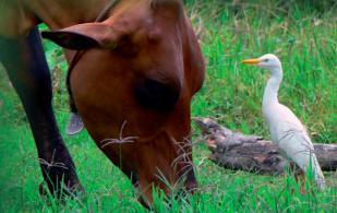 Artrópodos herbívoros en SSPi, plagas en sistemas silvopastoriles, control de plagas en  plagas en sistemas silvopastoriles, salivazos en ganadería, chinches en ganadería, gusanos en ganadería