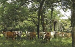 ganadería, ganadería colombia, ganadería colombiana, ganadería sostenible, modelo sostenible, regeneración natural, establecimiento regeneración natural, sistema silvopastoril, recomendaciones regeneración natural, ganaderos, ganaderos colombia