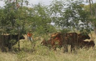 Ganadería, ganadería colombia, noticias ganaderas, noticias ganaderas colombia, CONtexto ganadero, ganadería colombiana sostenible, Ganadería Sostenible, Agrosavia, sorgo forrajero, agrosavia sabanera, plan de vinculación, plan de vinculación caribe, plan de vinculación agrosavia, agrosavia ganadería, raza Romosinuano, romosinuano agrosavia