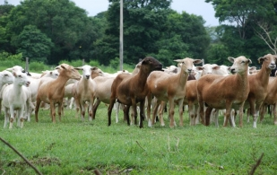 ganadería ovina en Colombia