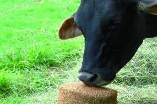 bloques nutricionales, fedegan, úrea, suministro de urea a los rumiantes, digestibilidad, palatabilidad, aumento del consumo de materia seca, CONtexto ganadero, noticias ganaderas, vacas
