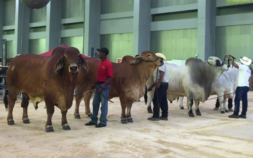 Agroexpo Caribe 2016, feria agropecuaria, feria agroindustrial, exhibición y juzgamiento de bovinos, Asocebú, feria equina grado B, muestra comercial, exhibición y juzgamiento de ovinos, CONtexto ganadero