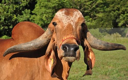 ejemplar Gyr, raza Gyr, vaca Randa, Gyr perfecta, alta calidad, mejoramiento genético, programador genético, CONtexto ganadero