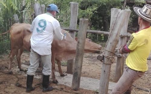 Primer ciclo de vacunación, erradicación de fiebre aftosa, Amazonas no usara vacuna tipo C, éxito pese a condiciones climáticas, reprogramar vacunaciones en algunas regiones, vacunaciones para el final del Ciclo, donación en comunidades indígenas, Cepa 19 gratis, certificación ISO 9001, CONtexto ganadero, noticas de ganadería colombiana.