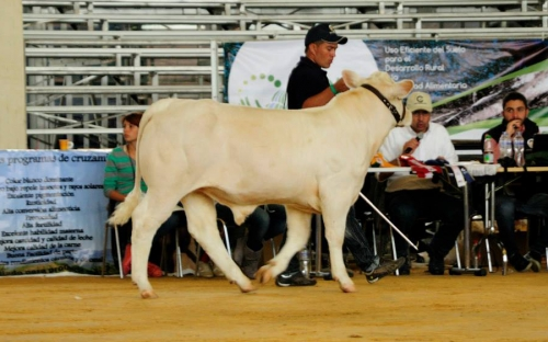 Aria Toronto 126, toro insignia Charolaise, Hacienda Aria, raza Charolaise, ganado nacional, ganado francés, ganado de carne,