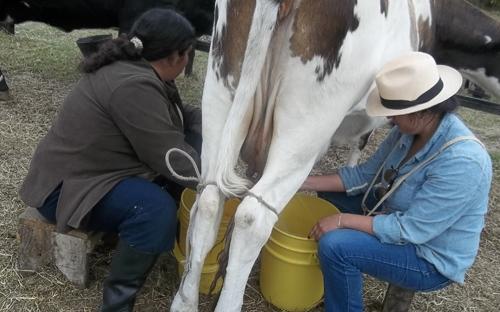 Ordeñar una vaca
