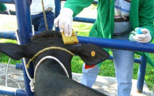 Descorne en bovinos, una práctica de bienestar animal