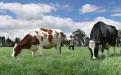 Raza Holstein en Colombia
