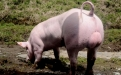 producción porcina Donmatías Colombia