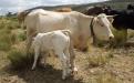 cruces bovinos, esquema de cruzamiento bovino, mejoramiento genético, bovinos F1, bovinos F2, bovinos F3, manejo animal, CONtexto ganadero