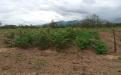 Proyecto sistemas silvopastoriles Agrosavia Nataima Tolima, sistemas silvopastoriles baratos, especies nativas en Colombia, proyecto SSP Agrosavia Nataima, investigación sistemas silvopastoriles, especies para SSP, especies para sistemas silvopastoriles, CONtexto ganadero, ganaderos Colombia, noticias ganaderas Colombia