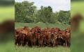 Ganadería Jr Gustavo Díaz, ganadería JR Brahman rojo, Brahman rojo Colombia, genética Brahman rojo, venta de Brahman rojo, Brahman rojo comercial, territorio Brahman rojo Cencogan, Brahman Colombia, toros Brahman, toros reproductores, Cencogan, Territorio Brahman Rojo 2018, comercialización ganado Brahman rojo, brahman córdoba, Contexto Ganadero, ganaderos Colombia, noticias ganaderas colombia