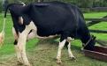 Historia Agropecuaria Chuco, ganadería de los Herrera, ganadería Holstein, Asociación Holstein de Colombia, asociación Holstein, ganado Holstein Colombia, venta de ganado Holstein, Holstein rojo, Holstein blanco, Agropecuaria Chuco, Hacienda San Pedro, Zipaquirá, ganadería colombia, CONtexto ganadero, ganaderos colombia, noticias ganaderas colombia