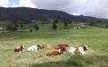 Ganadería Carlos Meza, Carlos Meza, Jersey, Jerhol, producir leche en zona cálida, leche trópico bajo, leche, producción leche, ganado Jersey en clima cálido, Jersey en trópico bajo, manejo del Jersey, comprar ganado Jersey, Venta de ganado, venta de bovinos, CONtexto ganadero, ganaderos colombia, noticias ganaderas colombia
