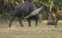 Horizon, búfalo más caro del mundo, búfalo africano, mercado de búfalos en sudáfrica, cuernos de búfalo
