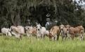 brahman en colombia, primer brahman en Colombia, genética Brahman Colombia, historia brahman Colombia, producciónde carne bovina en Colombia, brahman Estados Unidos, creación del brahman, manejo del brahman, mejoramiento genético, mejoramiento genético en el Cucharo, Brahman Rojo, manejo de Brahman rojo, producción de brahman rojo, ganaderos, ganaderos colombia, ganado, bovinos, ganado bovino, Ganadería, ganadería colombia, noticias ganaderas, noticias ganaderas colombia, CONtexto ganadero, contextoganadero