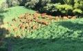 la magnolia, senepol, Puerto Berr{io, Magdalena Medio, Fedonia, San Pedro de Los Milagros, ganado puro, receptora, transferencia de embriones, biotecnología, cría, ceba, levante, ganadería, ganadería Colombia, noticias ganaderas Colombia, contexto ganadero