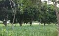 Tréquina, sabana inundable, Ganadería Sostenible, pastos, árboles, venado, producción ganadera, doble propósito, cría, producción de leche, valor agregado, comercialización, derivados lácteos, quesos madurados, yogurt, kumis, arequipe, Sistemas silvopastoriles, modelos rotacionales, suplementación estratégica, ensilajes, pastos nativos, lambedora, Agua, gravedad, potreros, bebederos, rotación de potreros, ordeño, Orinoquía, desarrollo sostenible, Ganadería, ganadería colombia, noticias ganaderas colombia, C