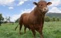 cruzamiento bovino