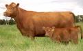 destete bovino