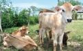 Inseminación y cruce de ganado en Los Campanos