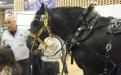 caballos de tiro pesado
