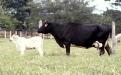 Mejoramiento genético de bovinos en Colombia