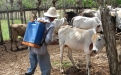 Parásitos en bovinos