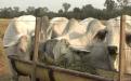El confinamiento bovino