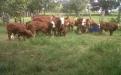 Agropecuaria Saturno posiciona el Simbrah en Colombia