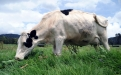 Abortos en bovinos
