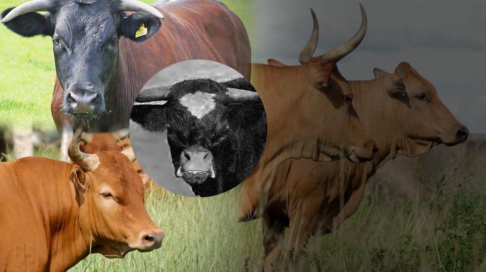 Razas bovinas extintas, razas bovinas en vía de extinción, razas bovinas en peligro de extinción, razas criollas extincion, vacas en peligro de extinción, vacas extintas, razas bovinas criollas, razas criollas colombianas, vaca gloucester, vaca ñata, ganaderos, ganaderos colombia, ganado, vacas, vacas Colombia, bovinos, Ganadería, ganadería colombia, noticias ganaderas, noticias ganaderas colombia, CONtexto ganadero, contextoganadero