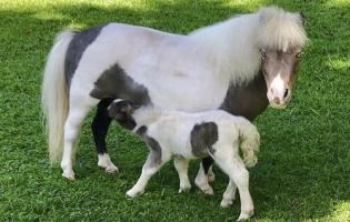 mini horses en Colombia, caballos miniatura en Colombia, San Samuel Mini Horses, mini horses como mascotas, mini horses mansos