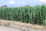 Colombia, maíz, la Iniciativa Maíz para Colombia, maíz escenarios hacia el año 2030; ¿Dónde estamos? ¿Hacia dónde vamos si no hacemos nada? ¿Hacia dónde queremos ir?, Centro Internacional de Mejoramiento de Maíz y Trigo (CIMMYT), Agrosavia, HarvestPlus, Federación Nacional de Cultivadores de Cereales y Leguminosas (Fenalce), Cámara de la Industria de Alimentos Balanceados de la Asociación Nacional de Empresarios (ANDI), Unidad de Planificación Rural Agropecuaria (UPRA), Ganadería, ganadería colombiana, noti